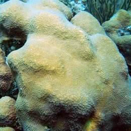 Montastraea faveolata. Image: Coralpedia